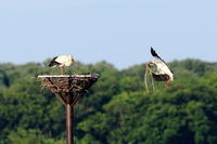 コウノトリの子育て巣の補強 - 銀狐の鳥見
