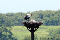 コウノトリの子育て暑いときには(1) - 銀狐の鳥見