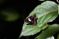 クロセセリ・・・沖縄本島 - 続・蝶と自然の物語