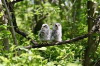 フクロウのヒナ - 四季の予感