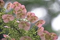 柏葉紫陽花 - + Spice to life