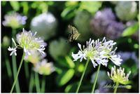 長居植物園にてアゲハチョウ - 今日のいちまい