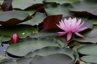池の花 - 鳥と共に日々是好日②