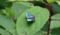 メスアカミドリシジミ高原の蝶たち - 蝶のいる風景blog