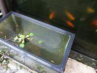 稚魚 - だんご虫の花
