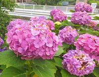 紫陽花と?7月4日(土) - しんちゃんの七輪陶芸、12年の日常