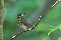 自己満足か?クロツグミの若鳥 - 上州自然散策3