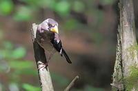 紫色の胸は汚れ?イカルの若鳥 - 上州自然散策3