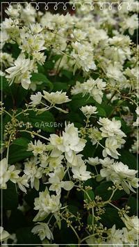 八重咲きの花の群れ - どんぐりの木の下で……