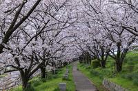 2020桜咲く京都 木津川堤の朝と夜 - 花景色-K.W.C. PhotoBlog