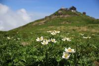 月山黒百合 - Mountain  Rose2