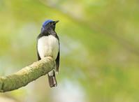 幸せの青い鳥 - ゆるゆる野鳥観察日記
