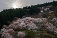 桜咲く ~中千本を歩く - katsuのヘタッピ風景