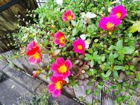 蚊除け対策いろいろと最近のクレマチスたち - 小庭の園芸日記