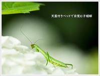 子蟷螂(こかまきり) - きのう・今日・あした