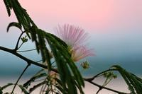 ネムノキの花 - 白鳥賛歌