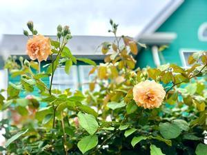 - 薪割りマコのバラの庭