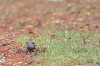 コマドリ・コルリポイントに現れたその他の鳥たち - 八分目とり日記