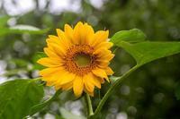 曇りの日のひまわり - あだっちゃんの花鳥風月