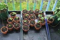 ノウゴウイチゴの苗作り2 - 週末は山にいます