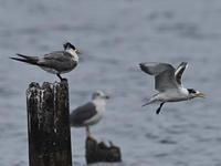 オオアジサシ&オニアジサシ - 四季の鳥達歌