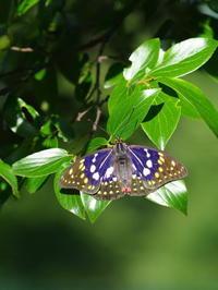 オオムラサキ - 自然を楽しむ