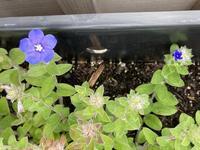 アメリカの職場のプランターに咲いていた折り目正しい青い花 - じゃポルスカ楽描帳