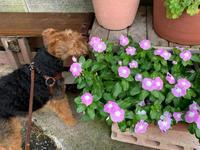 夏のお花。お隣さんのお庭はうっとりするほど美しいよ。 - ケアン&レイキー・・・・とウェルシュテリア
