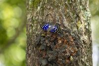 里山の昆虫たち~オオムラサキなど - チョウ!お気に入り