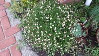 エリゲロンとリナリア - わらびの庭づくり。時々猫