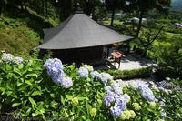 秩父札所3番 常泉寺 紫陽花 - photograph3
