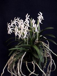 満開の「富貴蘭」の花 - しらこばとWeblog