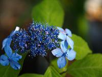 山紫陽花…⑨ - 花ごよみ~山野草に魅せられて~