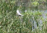 宮古島ークロハラアジサシ、ムラサキサギ、リュウキュウヨシゴイ - 写真で綴る野鳥ごよみ