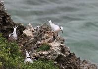 宮古島ーエリグロアジサシ(3)、ツバメチドリ(2)、リュウキュウアカショウビン他 - 写真で綴る野鳥ごよみ