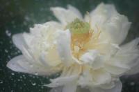 雨と蓮 - 写真の記憶