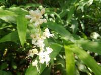 茗荷の藪の藪茗荷… - 侘助つれづれ
