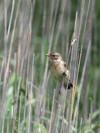 ノビタキとその幼鳥 - コーヒー党の野鳥と自然パート3