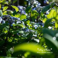 夏に咲く - Rey Photo