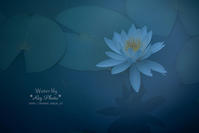 Water lily - Rey Photo