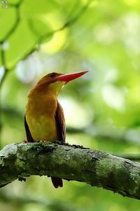 初めて撮ったアカショウビン(過去画像です) - 野鳥公園