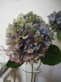 グリと紫陽花のカット - グリママの花日記