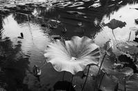 07.07蓮池 - photolog-ミヤコワスレ