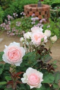 秋の方が綺麗?なバラ&デスラー総統 - ペコリの庭と時々パン