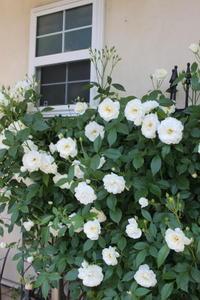 """玄関横のバラ""""つるアイスバーグ"""" - ペコリの庭と時々パン"""