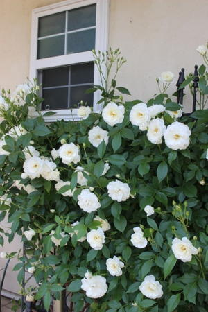 """玄関横のバラ """"つるアイスバーグ"""" - ペコリの庭と時々パン"""