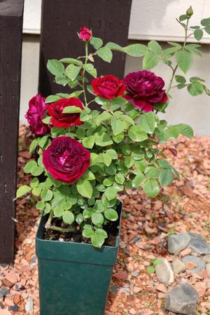 ドクトルジャメインを地植え - my small garden~sugar plum~