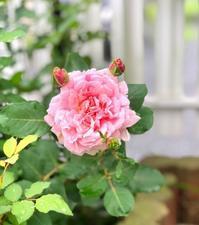 パスカリ秘話♫と美しいソフィーロシャス2番花♡と白実ワイルドストロベリー♫ - 薪割りマコのバラの庭