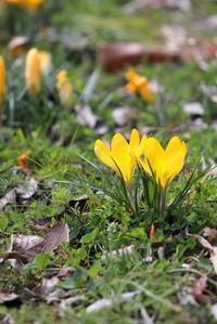 春の花。クロッカスです。 - 平凡な日々の中で