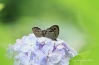 紫陽花に蝶♪ - 君の瞳に恋してる♪